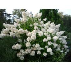 Гортензия белая саженцы купить в алматы в казахстане питомник растений rostok