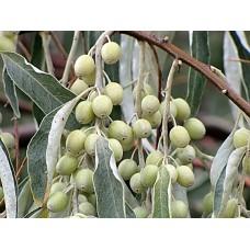 Лох узколистный джигида дерево саженцы купить в алматы отправка по казахстану питомник растений Rostok