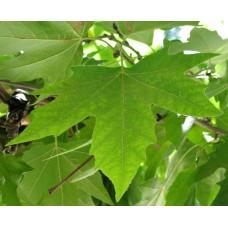Платан (Platanus) саженцы купить в алматы дерево в казахстане питомник растений Rostok