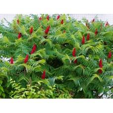 Сумах оленерогий  иудино дерево уксусное дерево саженцы купить в алматы в казахстане питомник растений Rostok