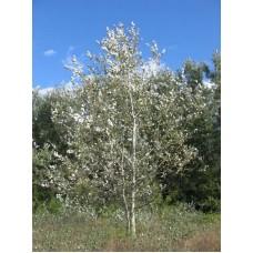 тополь серебристый белый купить в алматы дерево саженцы питомник растений Rostok
