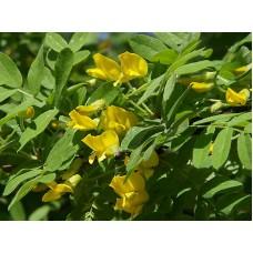 Карагана(Caragána, желтая акация) дерево саженцы купить в алматы в казахстане питомник rostok.