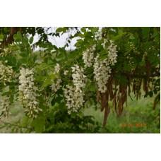 Саженцы белой акации купить в алматы питомник растений ROSTOK Низкие цены доставка посадка гарантия