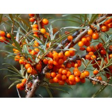 Саженцы облепихи купить в алматы дерево богатый выбор посадочного материала питомник растений Rostok