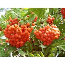 рябина красная обыкновенная саженцы купить в алматы в казахстане питомник растений Rostok лиственные растения дерево кустарник