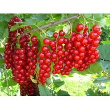Смородина красная купить в алматы саженцы смородины отправка по Казахстану питомник растений Rostok