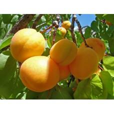 Саженцы абрикоса купить в алматы питомник растений Росток Низкие цены доставка посадка гарантия