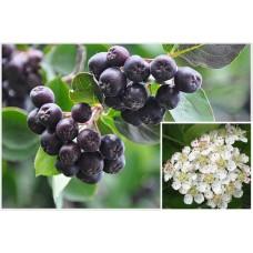 Черноплодная рябина арония саженцы купить в алматы питомник растений Rostok