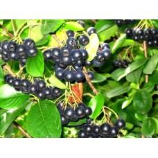 Рябина черноплодная купить в алматы саженцы арония питомник растений Rostok