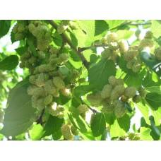 Шелковица тутовник саженцы купить в алматы в казахстане питомник растений Rostok