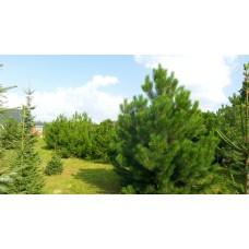 Сосна черная Pinus nigra саженцы дерево купить в алматы в казахстане питомник растений Rostok