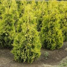 Туя западная голден брабант золотокончиковая купить саженцы в Алматы в Казахстане питомник растений Rostok